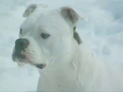 Close Up - The left side of a white American Bulldog that is sitting in snow.