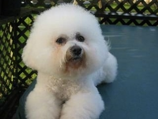Bichon Frise laying outside on a porch on top of a table