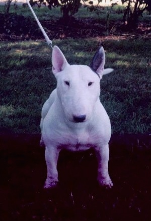 A white Bull Terrier looking straight on at the camera holder outside at night