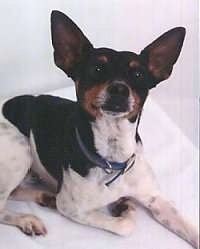 Close up front side view - A white and black with brown Rat Terrier is laying on a white surface and it is looking up. It has large perk ears.
