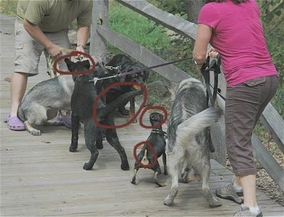 Five dogs meeting on a wooden bridge. There are four red circles over the areas of the dogs that are showing signs of aggression.