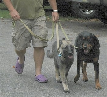 A person wearing violet crocs and tan shorts is leading Two dogs on a walk across a parking lot.