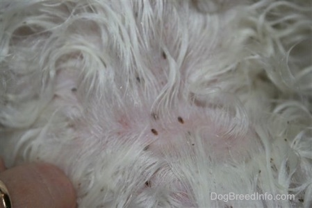 The white fur of a dog with canine lice and person with a gold ring splitting the fur to get a better look