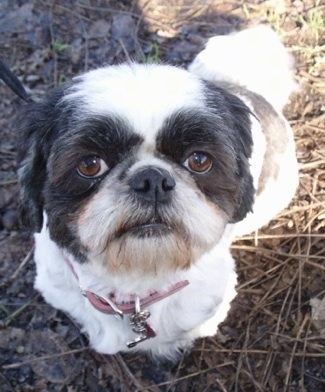 Close up - A shaved black and white Shih-Tzu is sitting on grass and it is looking up. It has a black nose and black lips.