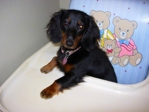 The front left side of a black with brown Long Haired Miniature Dachshund that is sitting in a highchair with its paws on the tray