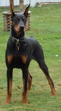 A black with brown Doberman Pinscher is standing in a yard there is fake well behind him