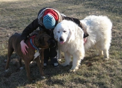A Person is standing outside and is hugging A brown brindle with white Boxer and a white Great Pyrenees.