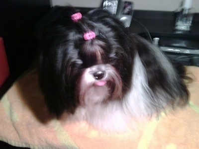 Close up - A long coated, black with white and brown Shih-Tzu is sitting on an orange towel, it has two pink ribbons in its hair, its mouth is open, its tongue is out and it is looking down and to the right.
