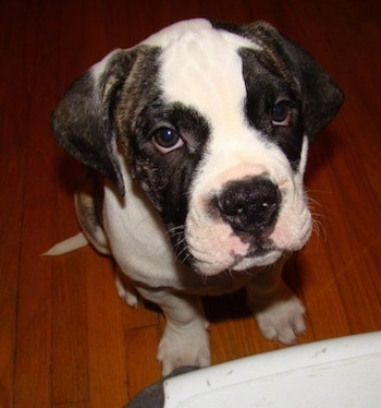Close up - A brindle with white American Bulldog puppy is sitting on a hardwood floor and it is looking up, at the person in front of it.