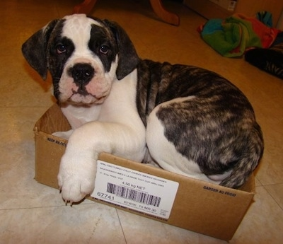 The left side of a brindle and white American Bulldog puppy that is laying down in a cardboard box