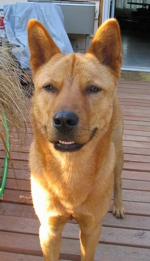 Close Up - A red Jindo is standing on a wooden deck in front of a house.