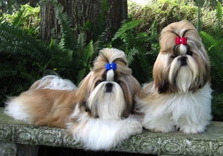 Two long-haired Shih Tzus are laying and sitting on a stone bench in a park. One dog has a blue ribbon in its top knot and the other dog has a red ribbon in its top knot. They both have long flowing coats.
