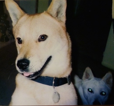 A tan with white Jindo is sitting on a couch next to another Jindo that is laying down. Its head is tilted, mouth is open and tongue is slightly sticking out