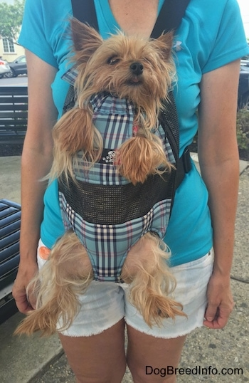A tna Yorkie is in a dog carrier strapped to a ladies chest