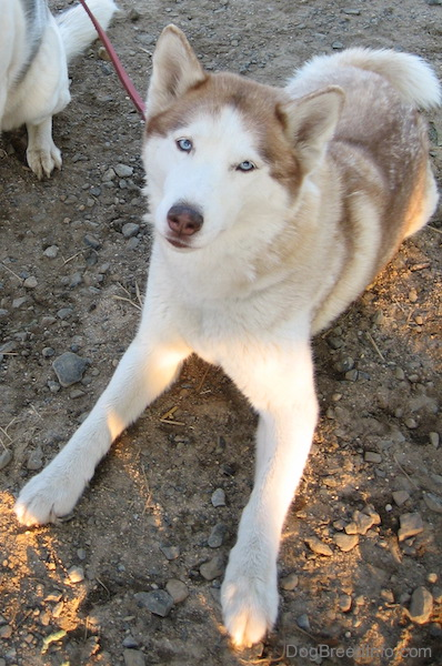 A red and white Siberian Husky with blue eyes laying down in the dirt and gravel looking up.