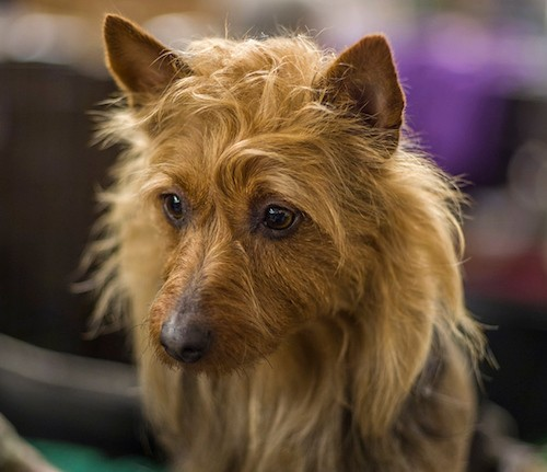 Front view head shot of a small, shaggy tan dog with perk ears and a scuffy coat, brown eyes and a dark nose looking to the left.