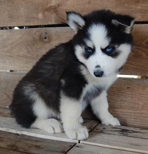 A small black with white artic looking thick coated puppy with blue eyes and small perk ears with the right ear folding over to the front. The pup has a black nose and blue eyes and is sitting down on a wood ledge in front of a wooden wall.