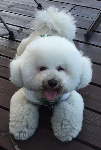 A small, but thick furred, puffy white, soft looking dog that looks like cotton ball wearing a shirt laying down on a deck outside