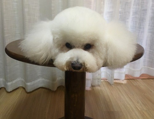 A fluffy little white dog laying flat on top of a table looking like a cotton ball
