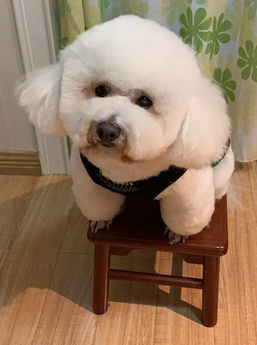 A white, very thick, fluffy, soft little dog with black round eyes and a black nose sitting on top of a stool