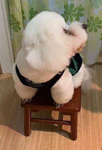 A soft, thick coated, puffy white dog wearing a shirt sitting on top of a stool inside of a house