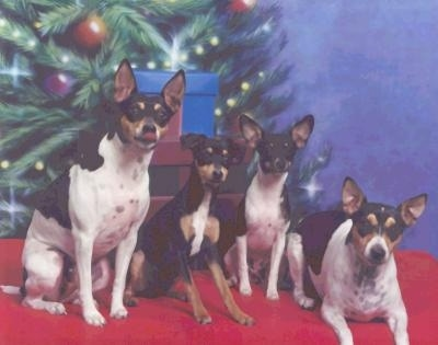 A pack of 4 Rat Terriers are sitting and laying on a red blanket. The backdrop has a christmas tree on it. The middle two dogs are smaller than the dogs on the ends.