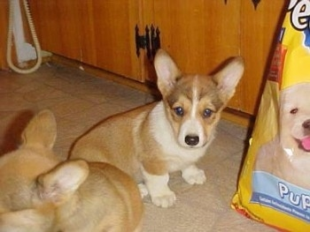 Two tan with white Pembroke Welsh Corgi puppies are sitting on a tan tiled floor and there is a large bag of dog food next to them.