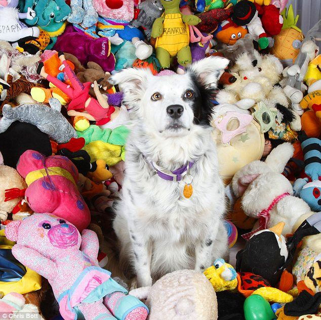 Knowledgeable: Chaser can be seen sitting on the top of her pile of toys - she knows all 1,022 items by name