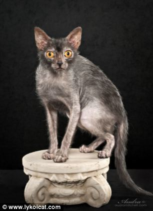 The Lykoi gets its spooky looks because of a genetic mutation in a domestic shorthair cat, which prevents the curious creature from growing a full coat of fur, making it looks like a werewolf