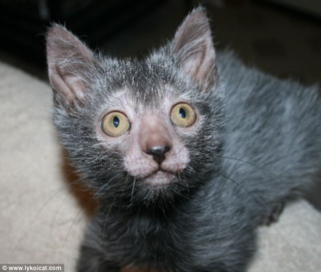This pet is for life and not just Halloween: The Lykoi