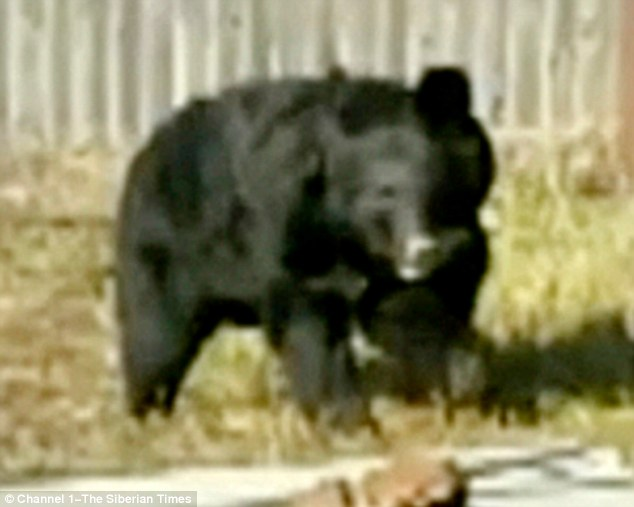The black bear (pictured) attacked soon after the children emerged from their village shop in Amgu, in the Primorsky region