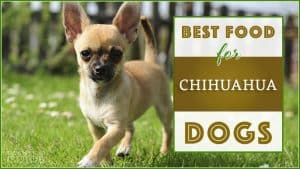 best dog foods for chihuahua