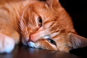 Home Remedies for Tapeworm in Cats - A More Natural Approach 1
