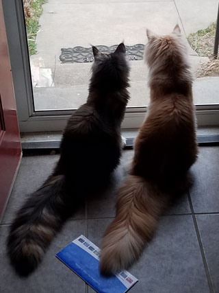 EuroCoons Maine Coon cats waiting at the door