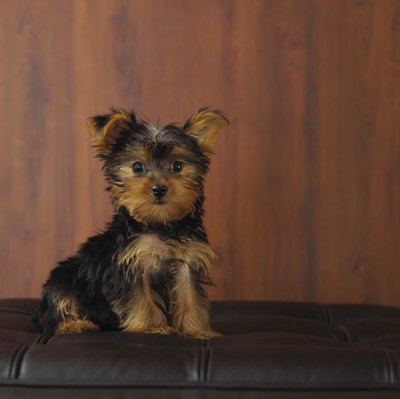 Yorkies are small in stature, but not personality.