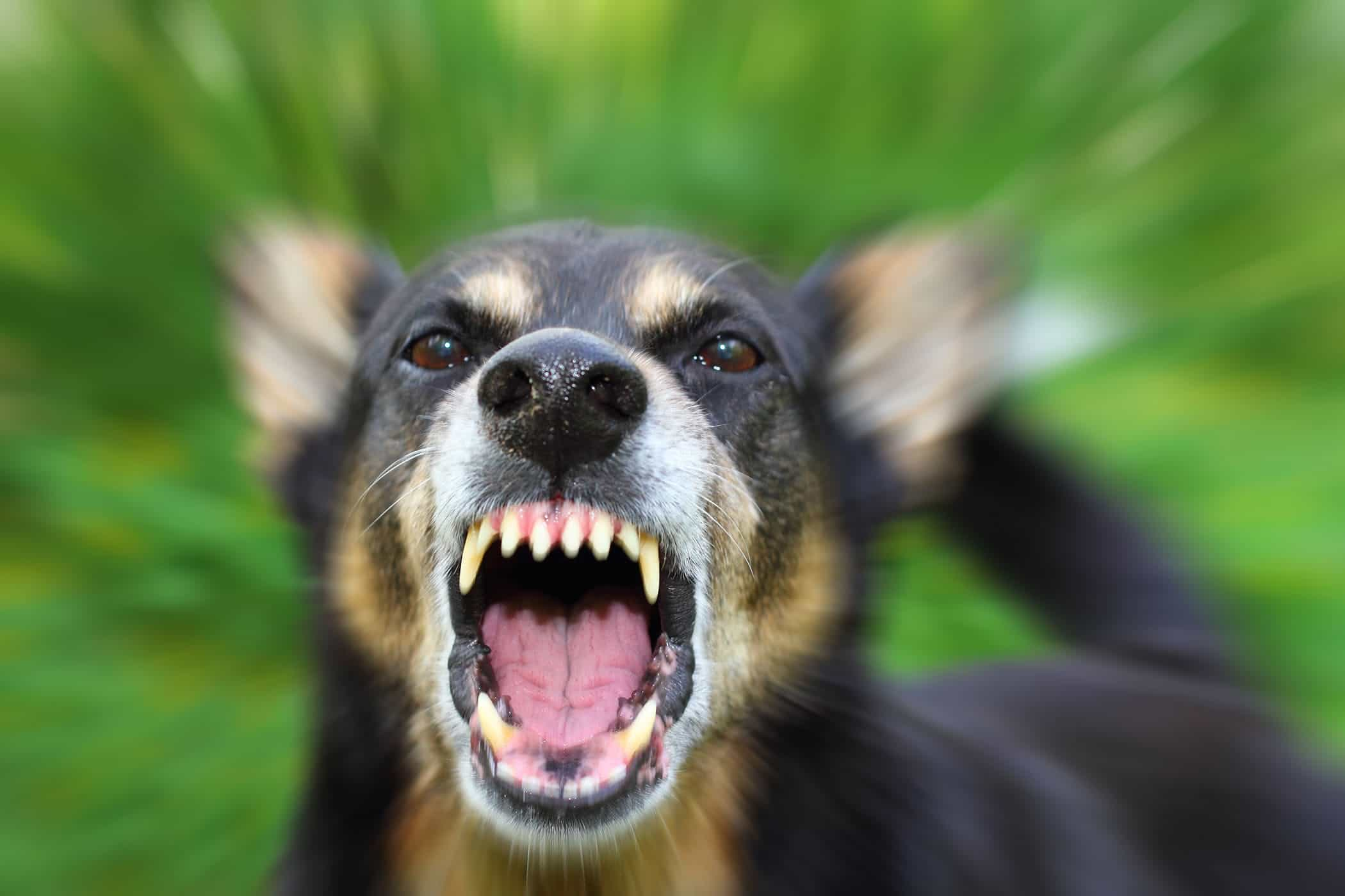 The rabies vaccination reduces the risk of their dog contracting the often fatal disease.