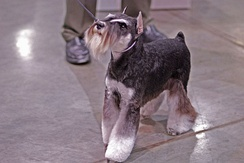 A Miniature Schnauzer emitting its trademark curiosity and boldness