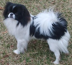 Japanese Chin today