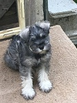 A Miniature Schnauzer pup before first grooming
