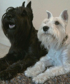 The size difference between the Miniature Schnauzer (white) and its ancestor, the Standard Schnauzer (black)