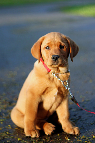 Can I Walk My Puppy Before They Are Vaccinated ?