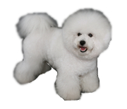 Bichon Frise pros and cons