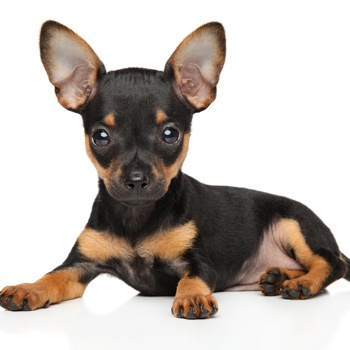 Photo of Russian Toy Terrier puppy