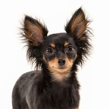 Photo of adult Russian Toy Terrier