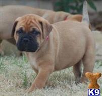bullmastiff puppy posted by takifi
