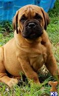 bullmastiff puppy posted by thomaslees51