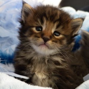 chaton brown blotched tabby d