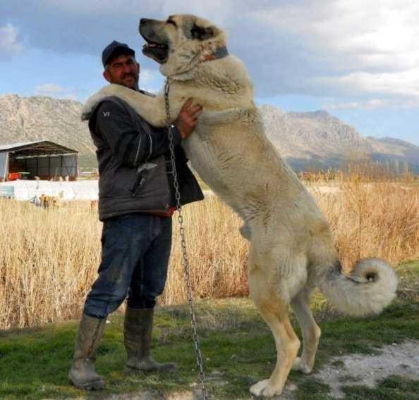 алабай вес взрослой собаки
